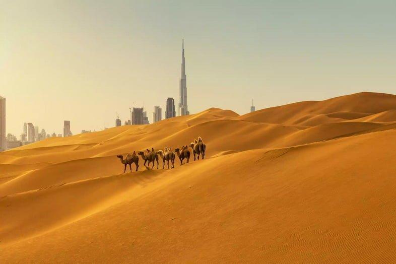 Верблюды в пустыне с деловым районом на заднем плане