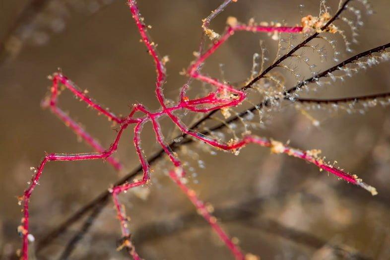Маленький красный морской паук