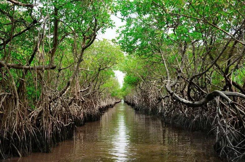 Охраняемые мангровые заросли, которые улавливают углерод. Эверглейдс-Сити, Флорида, США.