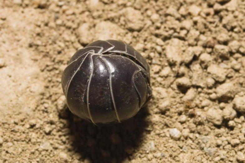 Мокрица-броненосец обыкновенная свернулась в плотный шарик, лежащий на светло-оранжевом песке