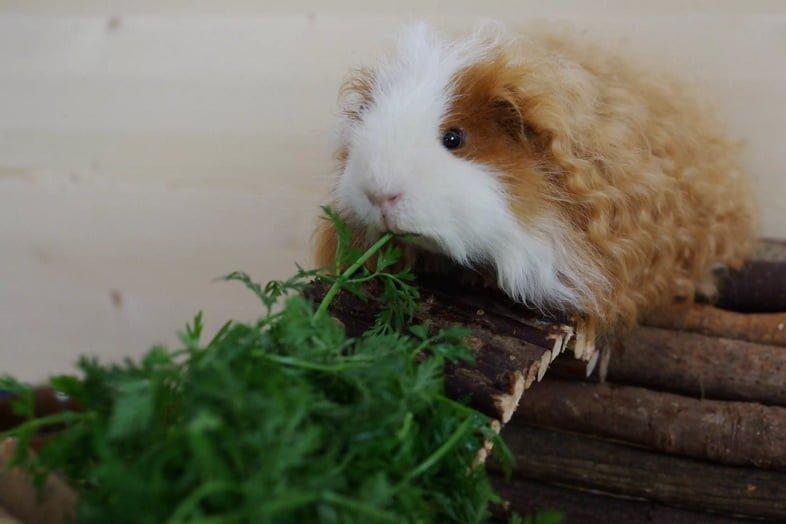 Коричнево-белая морская свинка тексель ест зелень