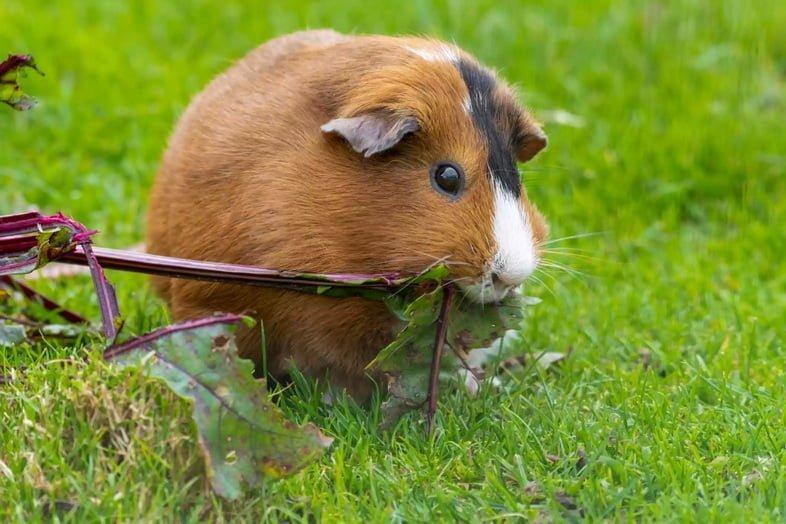 Коричневая и белая морская свинка ест корень свёклы в траве