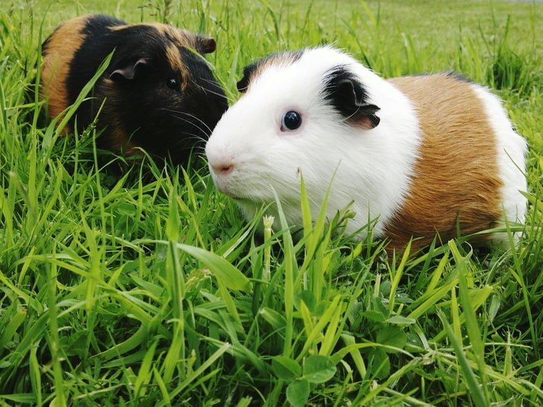 Две морские свинки, одна бело-коричневая, а другая черно-коричневая, в высокой зеленой траве.