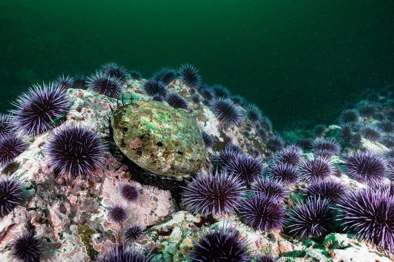 Одинокое красное морское ушко в окружении фиолетовых морских ежей