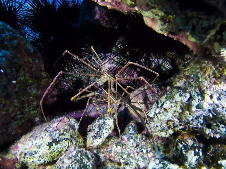 Морской паук на скалах