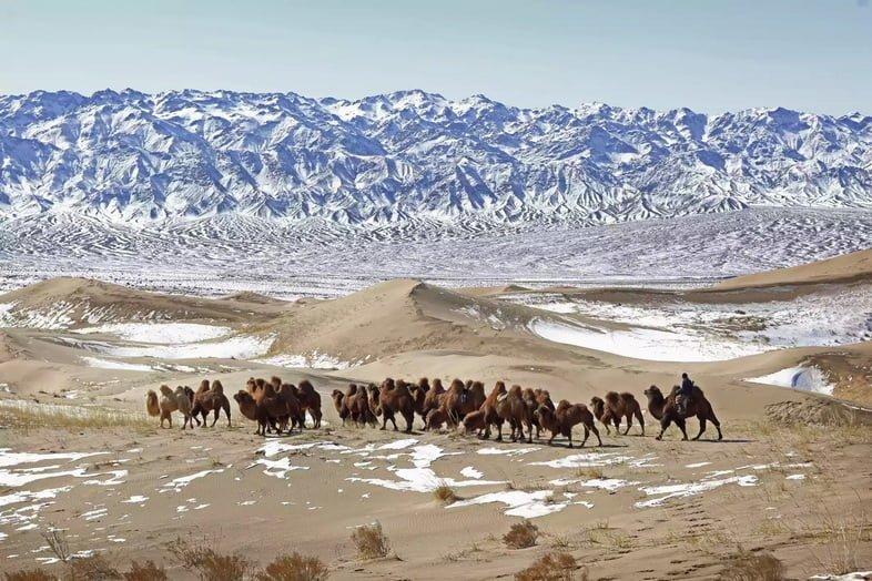 Кочевник загоняет караван верблюдов в заснеженную пустыню Гоби