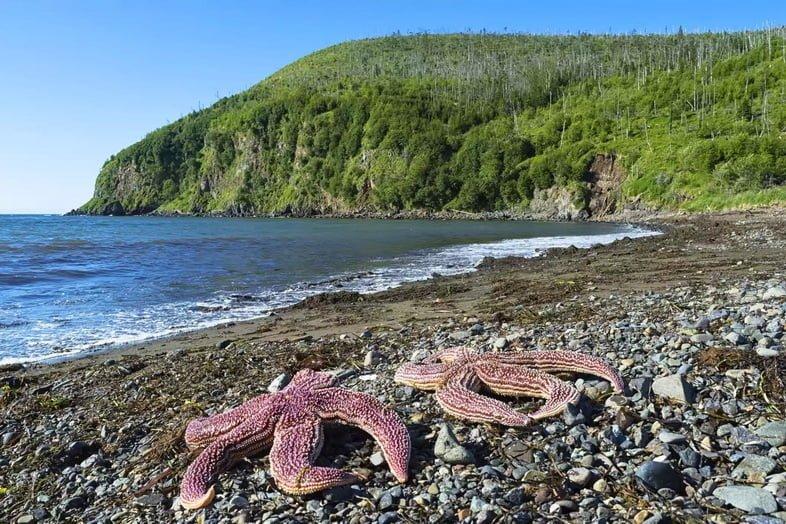 Две фиолетовые амурские морские звезды, лежащие на каменистом пляже