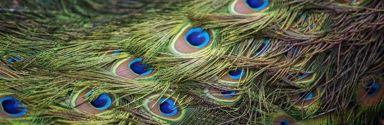 Узор из разноцветных ярких перьев павлиньего хвоста, фон