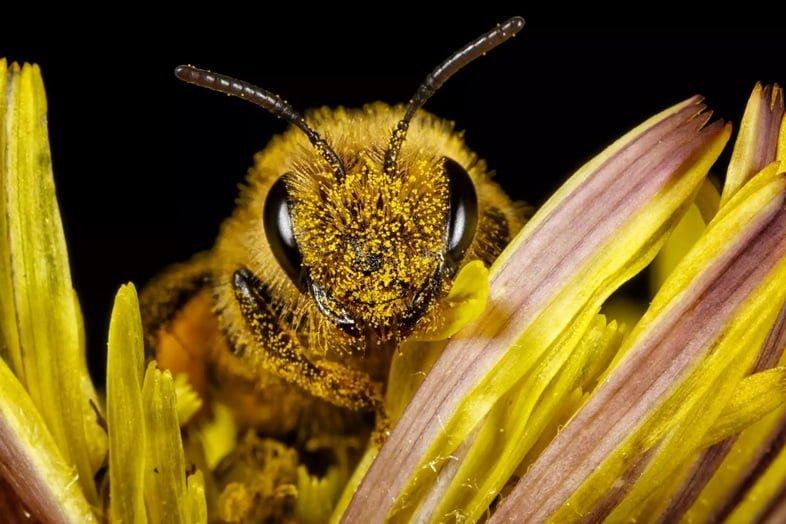 Медоносная пчела с пыльцой