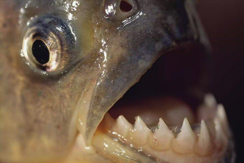 Piranha Serrasalmus – зубы
