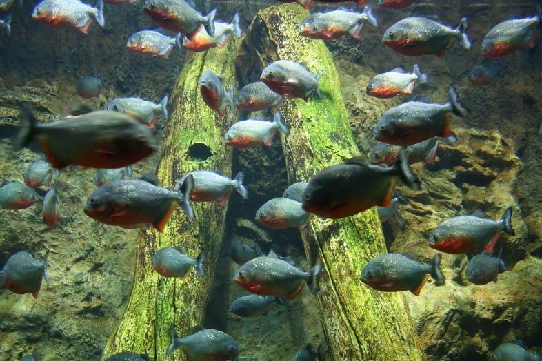 Пираньи в аквариуме, Германия