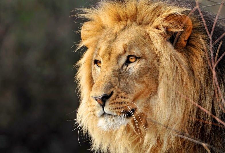 Портрет самца льва