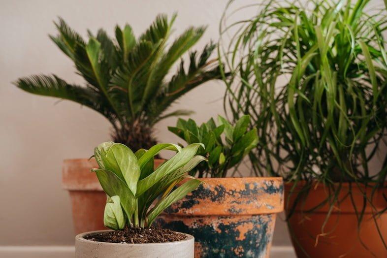 Четыре комнатных растения в керамических горшках