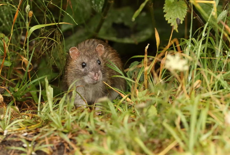 Серая крыса на корточках в поле травы