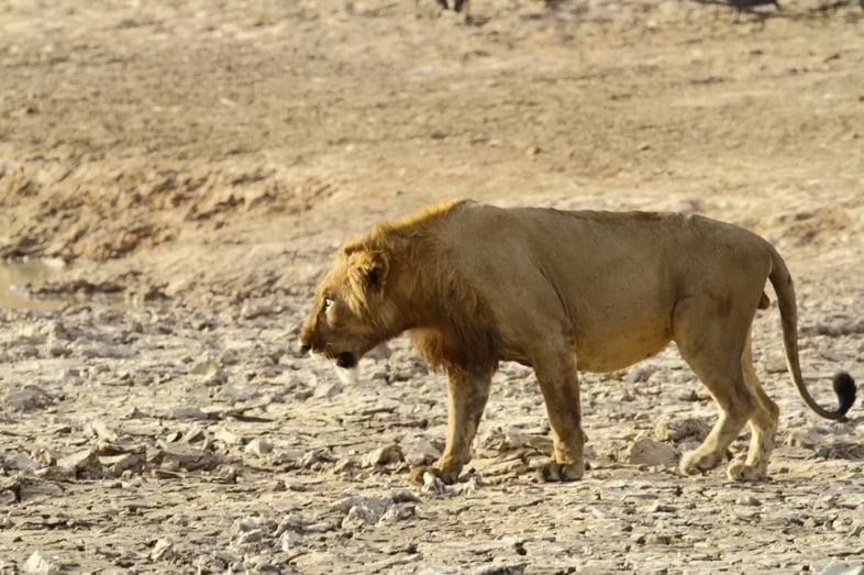 Сенегальский лев из национального парка Пенджари, Бенин.