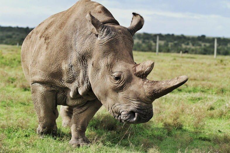 Северный белый носорог в Кении, Африка.