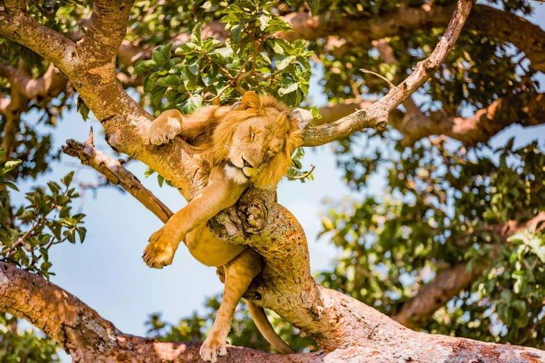 Североконголезский лев, спящий на дереве