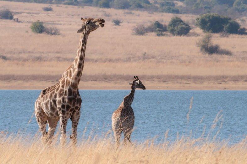 Жирафы, стоящие у водоема в засушливом пейзаже.