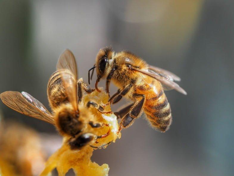 Медоносные пчёлы в Австралии