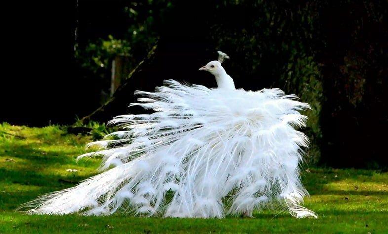 Белый павлин в лесу