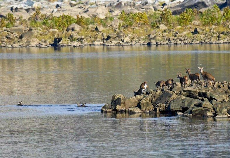 Стадо белохвостого оленя, плывущее через реку