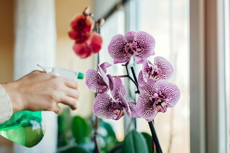 Женщина распыляет воду на цветущую орхидею на подоконнике. Девушка заботится о домашних растениях и цветах.