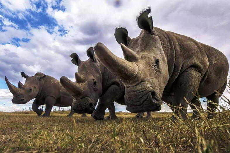 Южный белый носорог и две самки северного белого носорога