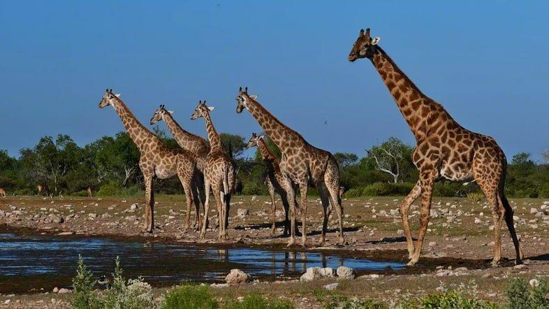 Жирафы, стоящие у водопоя в субсахарском пейзаже.