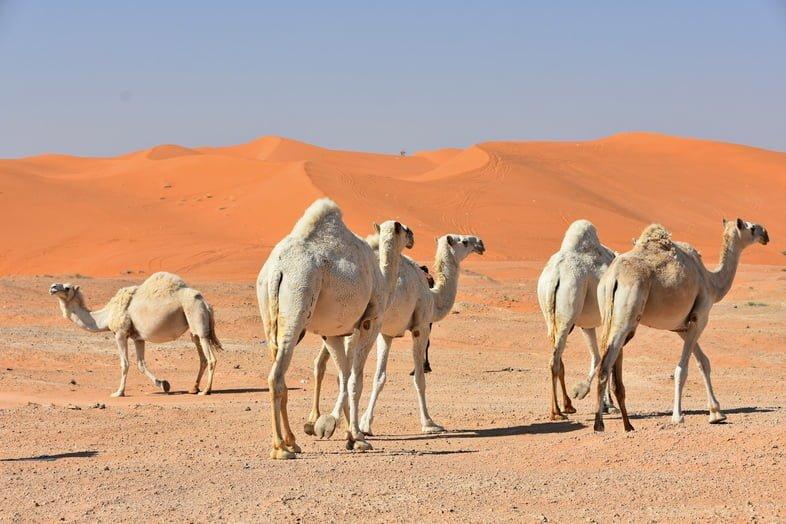 Верблюды гуляют по ярко-оранжевым песчаным дюнам в Центральной Саудовской Аравии