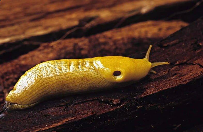 Банановый слизень ползет по дереву