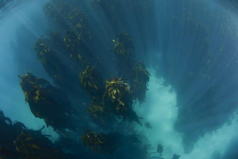 Подводный лес ламинарии.