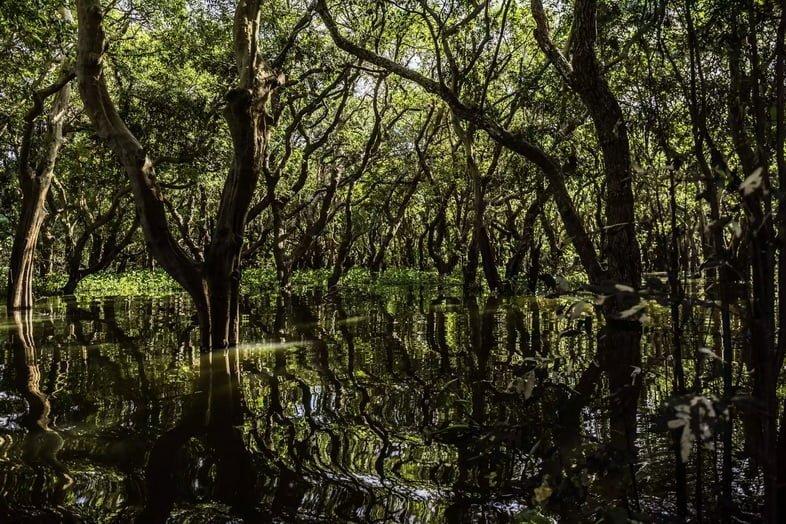 Мангровые деревья, погруженные в воду.