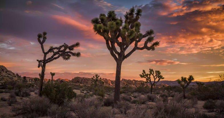 Пейзаж пустыни Мохаве с коротколистными юкками под небом на восходе солнца