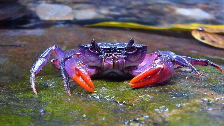 Палаванский пурпурный краб