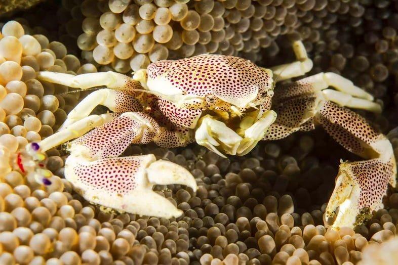 Пятнистый фарфоровый краб на морском анемоне