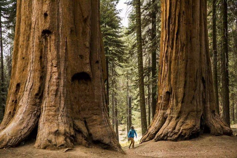 Секвойя – деревья