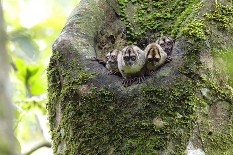Шумная мирикина Спикса в национальном парке Ясуни, Эквадор