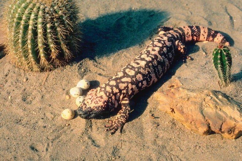 Аризонский ядозуб и яйца в пустыне