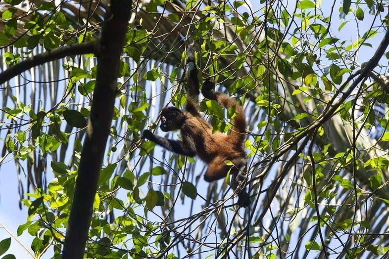 Коата Жоффруа из Центральной Америки в Коста-Рике