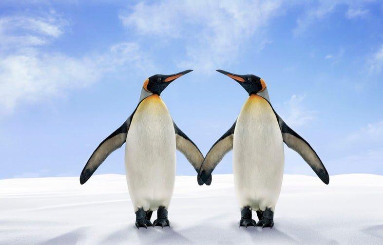 Два королевских пингвина стоят бок о бок, соприкасаясь крыльями