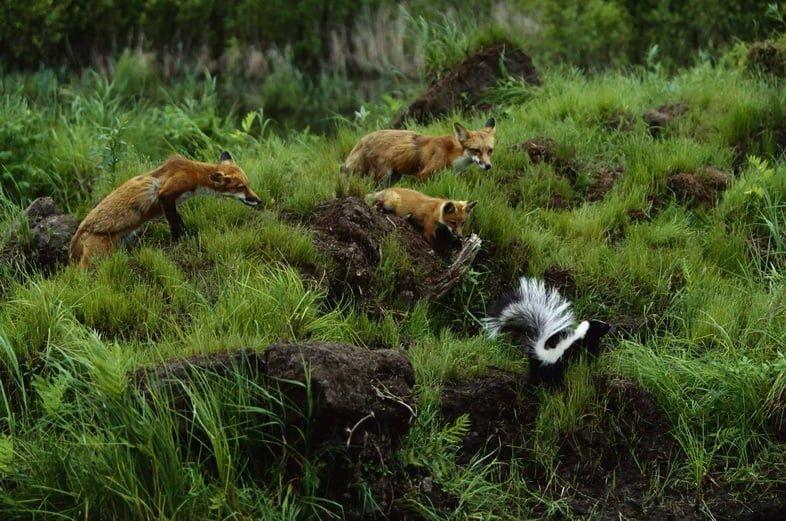 Три рыжих лисицы идут на большой риск, беспокоя скунса.