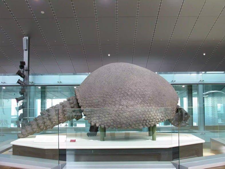 Окаменелость гигантского доисторического броненосца с шипастым хвостом на платформе в музее