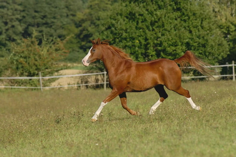 Величественная коричневая арабская лошадь с белыми отметинами спускается по полю
