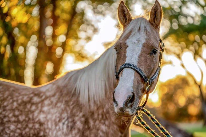 Рыжевато-белая крапчатая лошадь с высоко поднятыми ушами во время заката