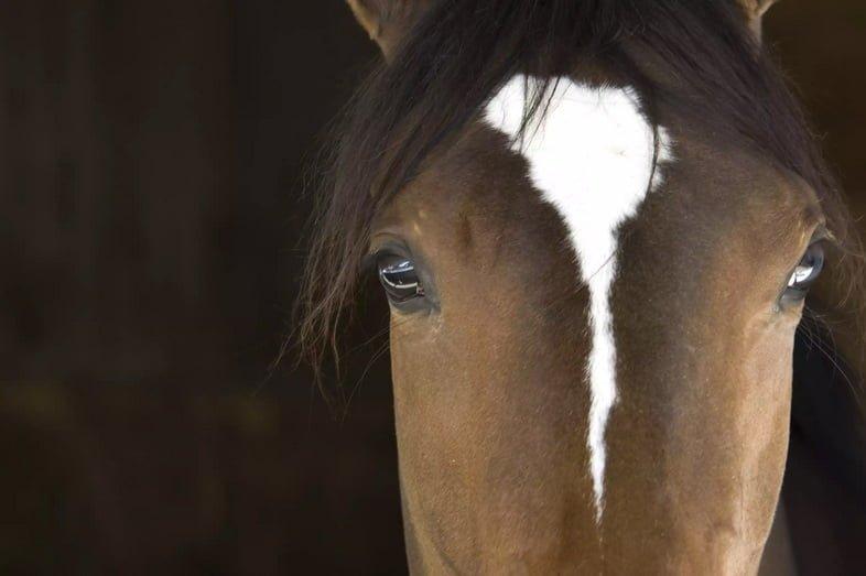 Крупный план, вид спереди морды лошади, большие глаза широко расставлены по бокам головы