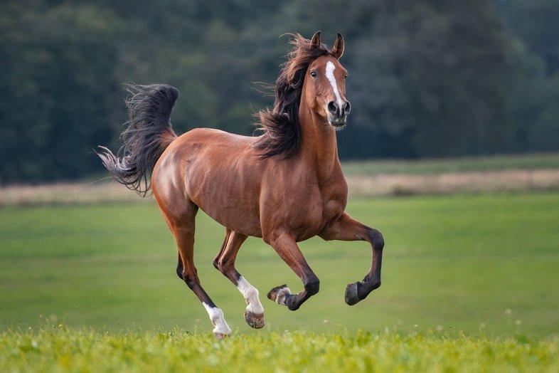 Коричневая лошадь с черной гривой бежит по полю, ветер развевает волосы