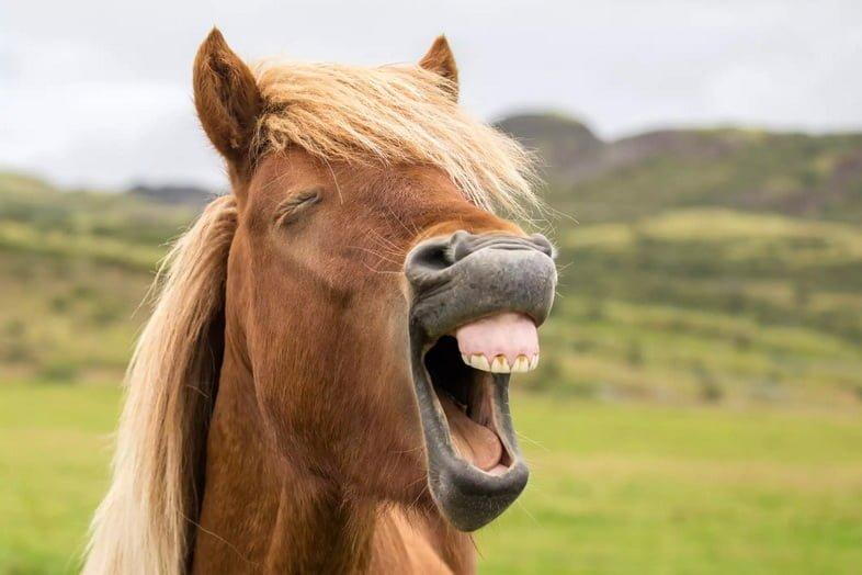 Крупным планом морда лошади с открытым ртом, показывающая мелкие зубы