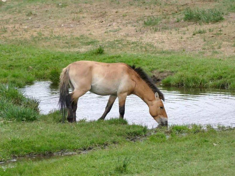 Светло-коричневый конь Пржевальского наклоняется, чтобы попить воды в окружении зеленой травы