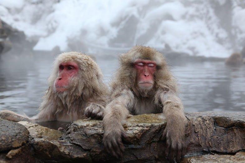 Японские макаки купаются в горячих источниках