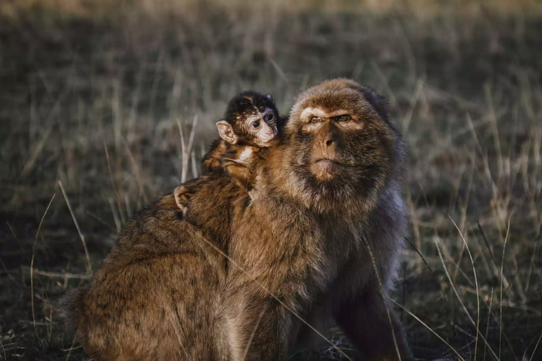 Самка магота и ее детеныш